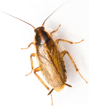 Brownbanded Cockroach