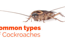 Common Types of Cockroaches
