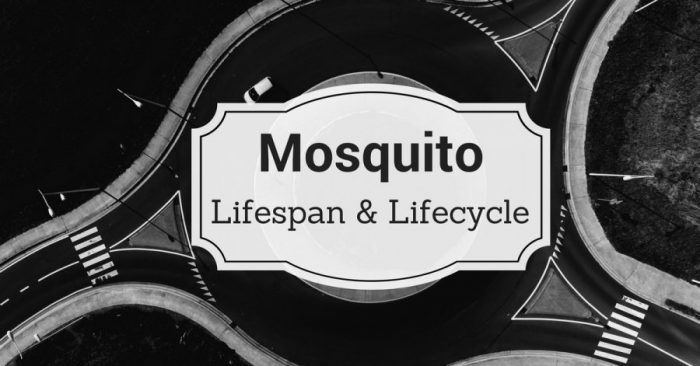 Mosquito Life Cycle: What's their lifespan?