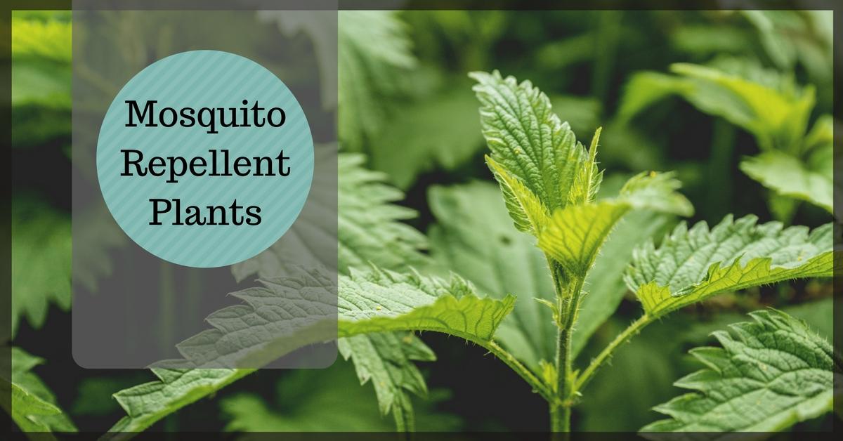 28 Mosquito Repellent Plants Pest Survival Guide