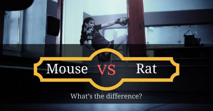 Mouse vs Rat: What's the difference?