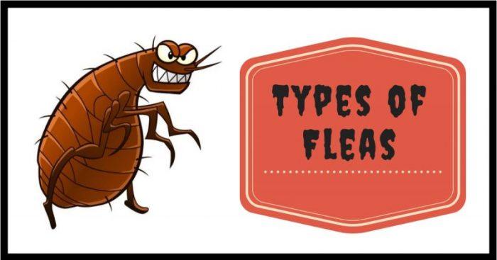 Types Of Common Flea Species Pest Survival Guide